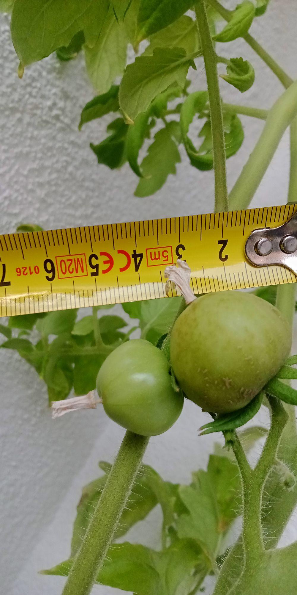А вот урожай помидор на балконе как-то не задался :(