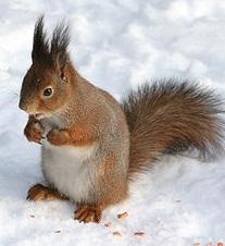 Sciurus_vulgaris_in_snow_-_Helsinki,_Finland