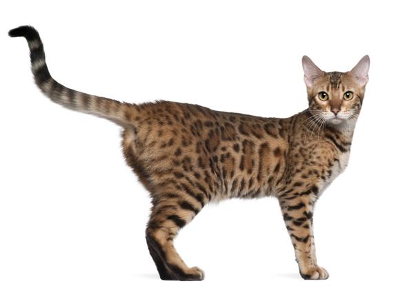 кот-бенгал