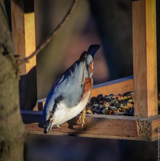 Поползень, ворующий семечки у синиц в Невском лесопарке.