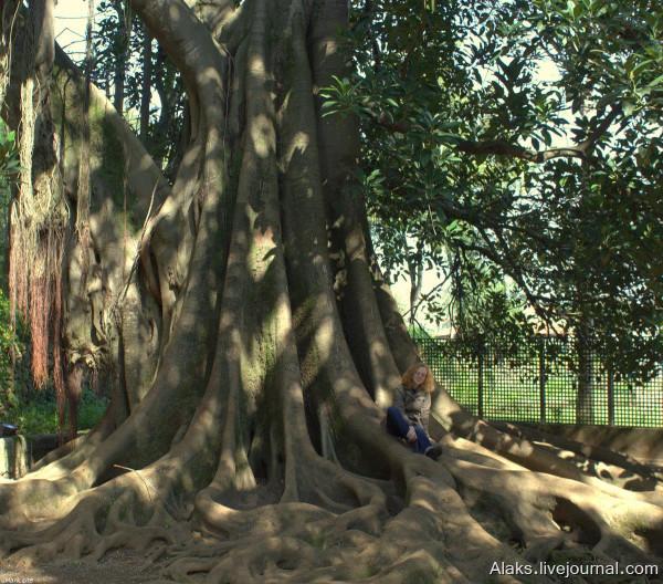 figueira-da-austrália (Ficus macrophylla)