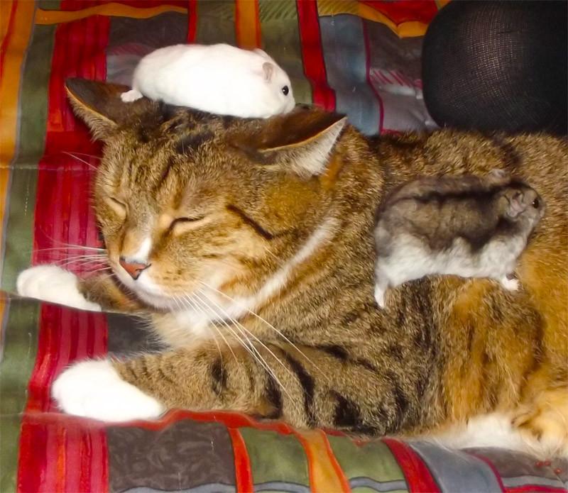 Кот и карликовые хомячки на голове