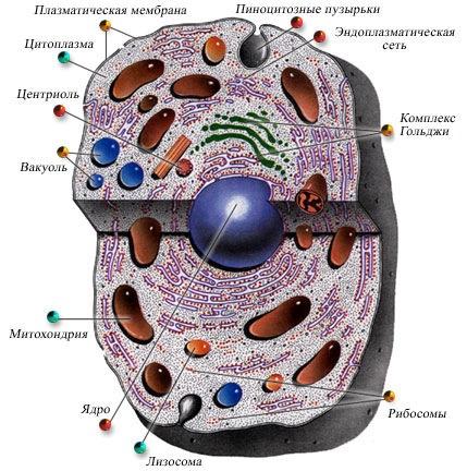 вб3-эукариотная клетка