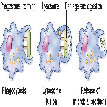 вб3-фагоцитоз4