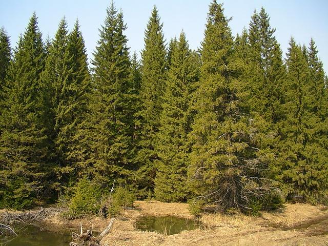 сбз10-еловый лес