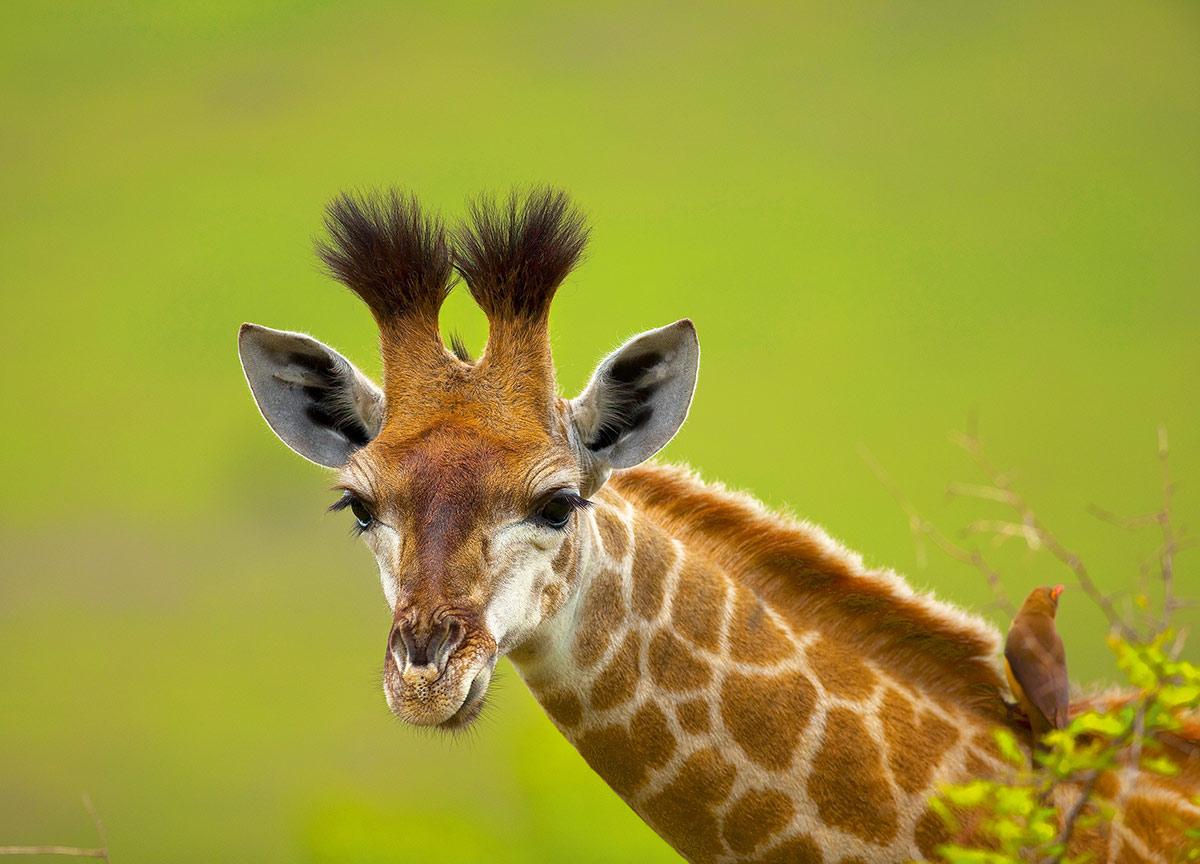 240. 10 самых удивительных фактов о жирафах: albercul - photo#45