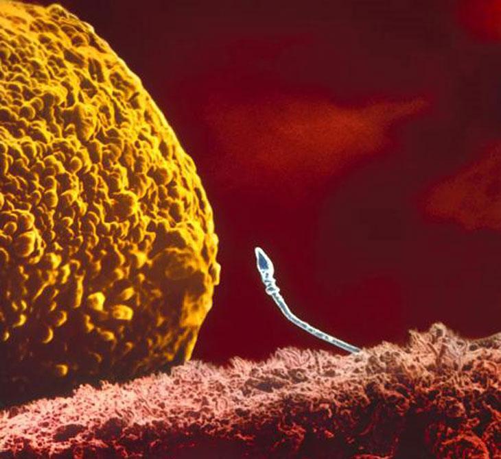 срок жизни сперматозоида вне тела-ль2