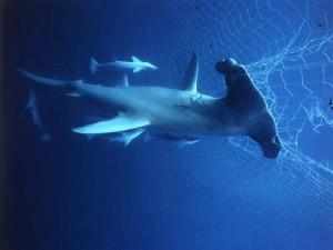 ок-акулы