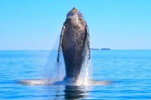 ок-горбытй кит