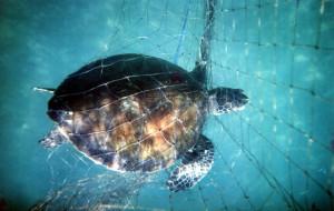 ок-черепаха