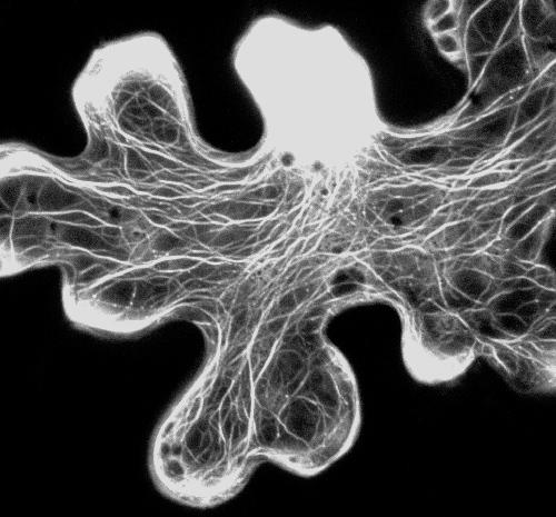 амеба-сеть