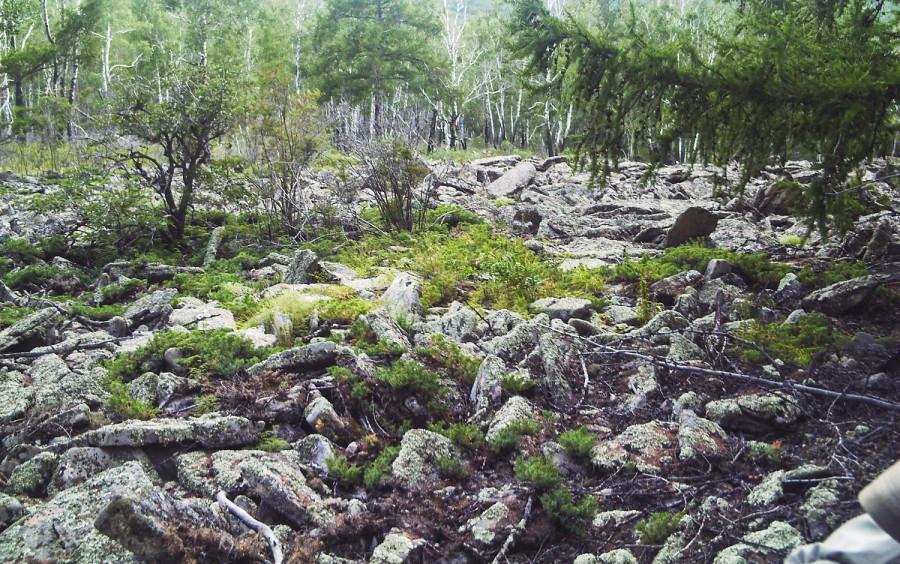 курумник в лесу