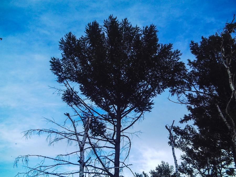 дерево с эжином