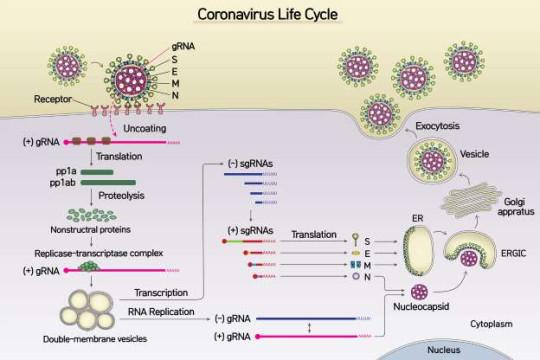 Ученые Института фундаментальных наук в Южной Корее проанализировали полный РНК-геном SARS-CoV-2 и составили детализированную карту генов.