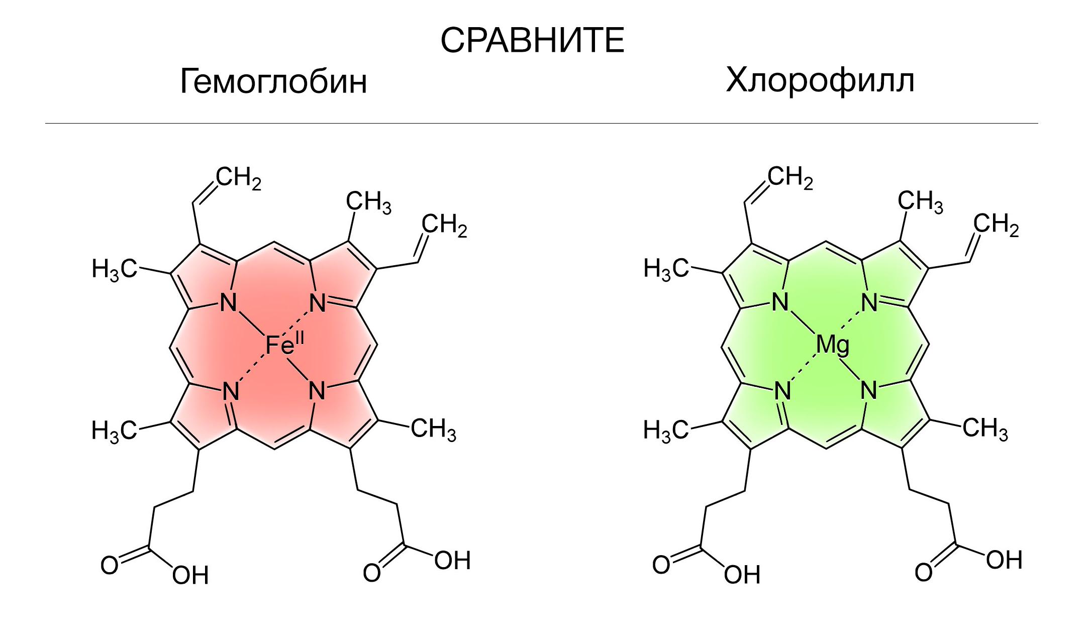 Сравните строение молекулы хлорофилла и гемоглобина