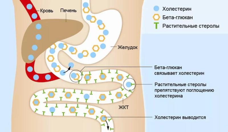Бета-глюкан и уровень холестерина