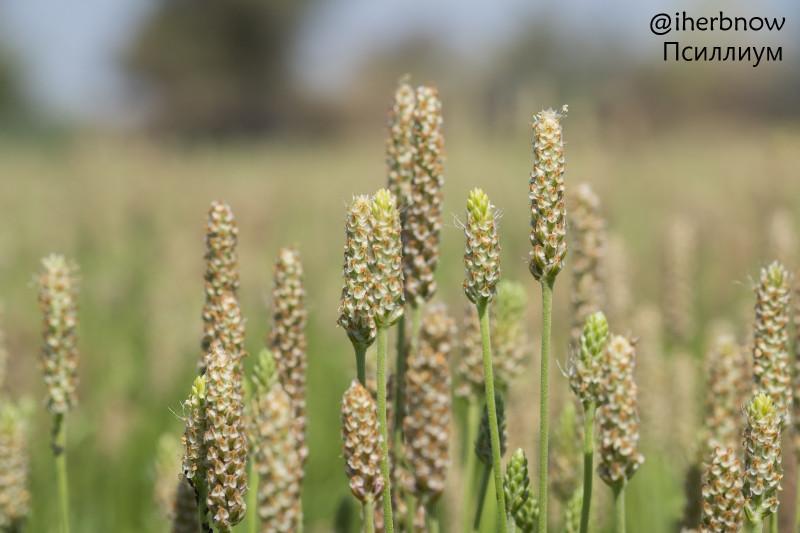 Псиллиум шелуха подорожника —  растение