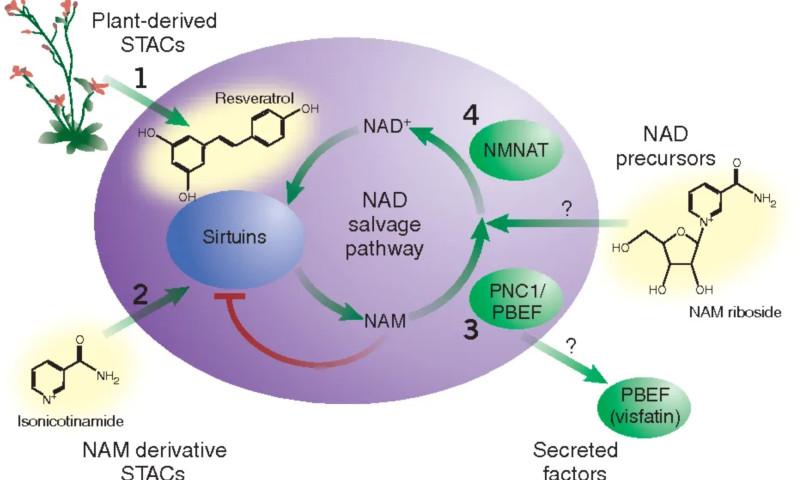 Сиртуины и прием NAD+
