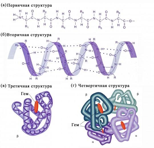 Структура белка и протеина