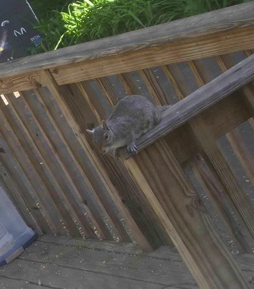 lj - squirrel