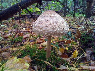 parasol_mushroom