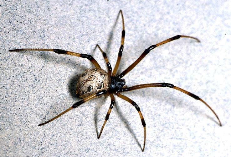 brown_widow_spider_large