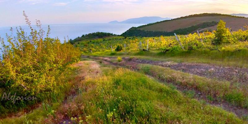 Заброшенные виноградники на закате выглядят совершенно золотыми.