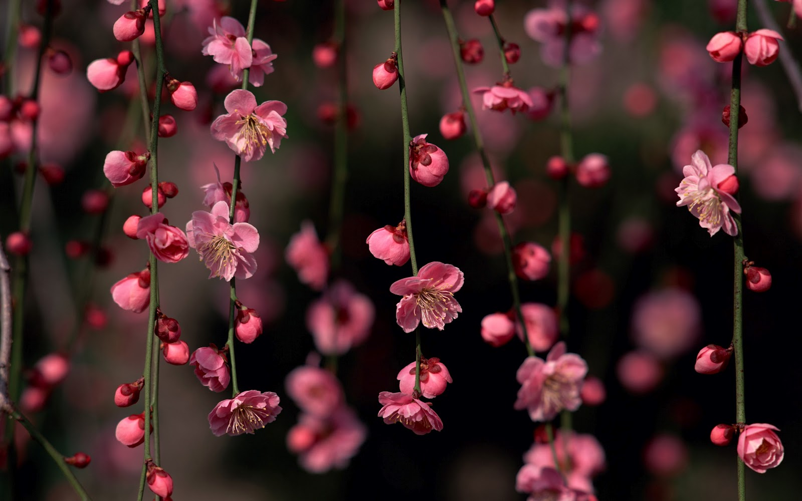 sakura-blossom-awesome-spring-flowers-nature_179469