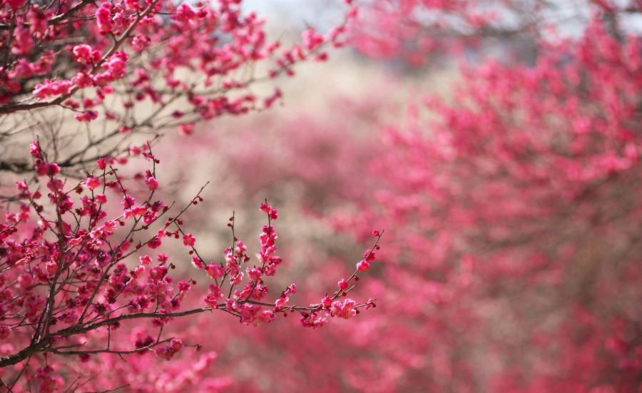 sakura_cherry_blossom-wallpaper-2560x1600