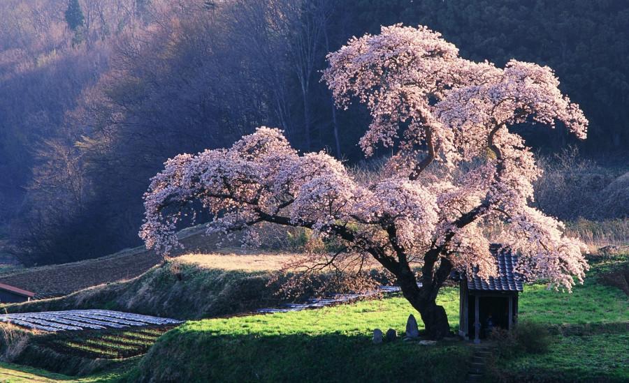 spring_in_japan-wallpaper-1920x1200