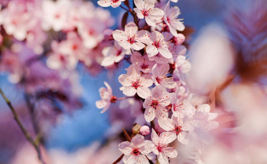 cherry_blossom_3-wallpaper-2560x1600
