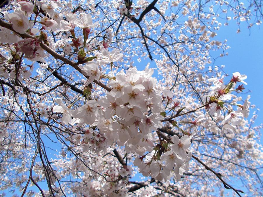 cherry_blossom_by_sheltiewolf-d5z6nzr