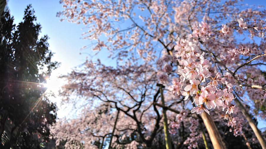 cherry_blossom_wallpaper_2011_by_windylife-d3cy7zs