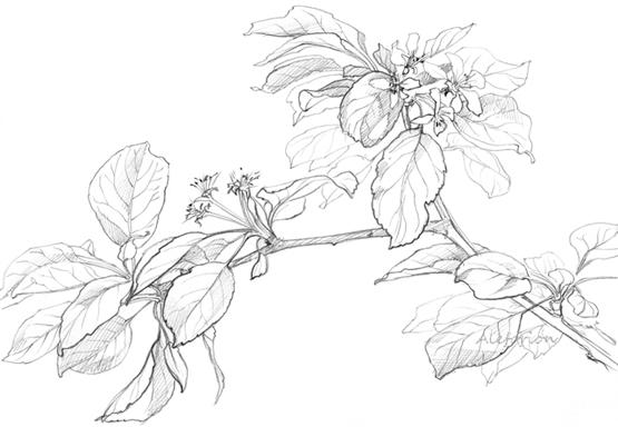Leaves001-555-C