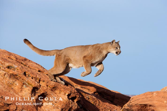 mountain-lion-jumping-photograph-12283-400637