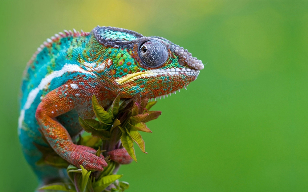 Colored-Chameleon-1