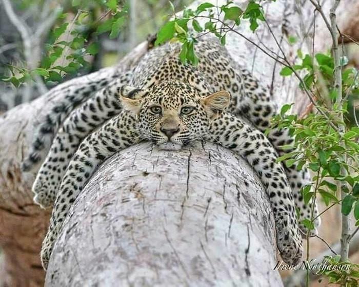 леопард-паук
