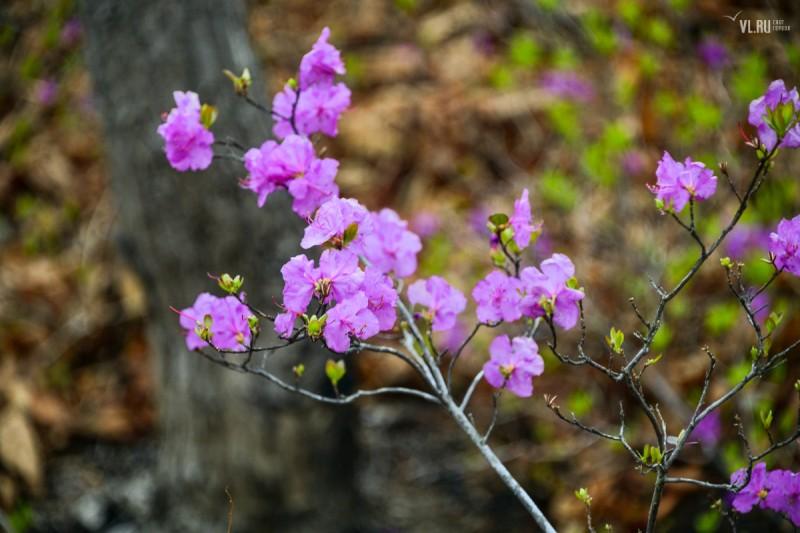 滨海边花园盛开:今天您可以在这里看到杜鹃花的盛开。