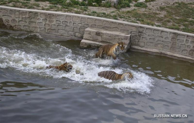 Амурские тигры в Китае 1