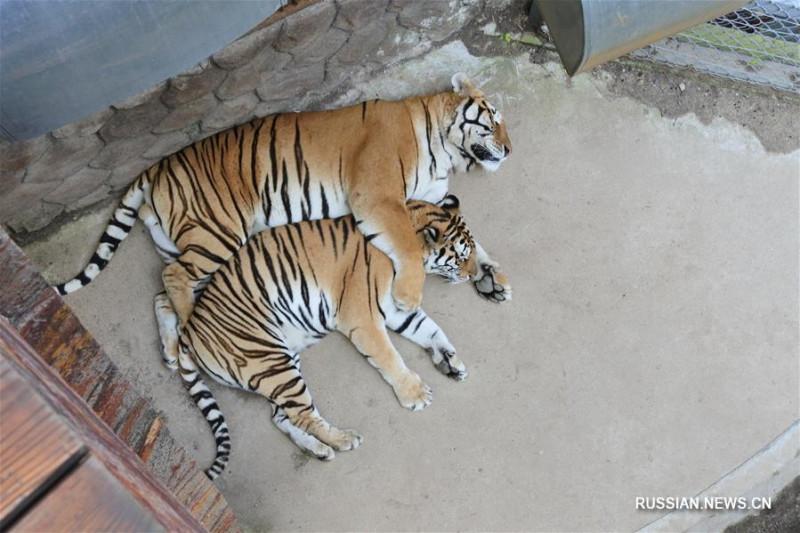 Амурские тигры в Китае 3