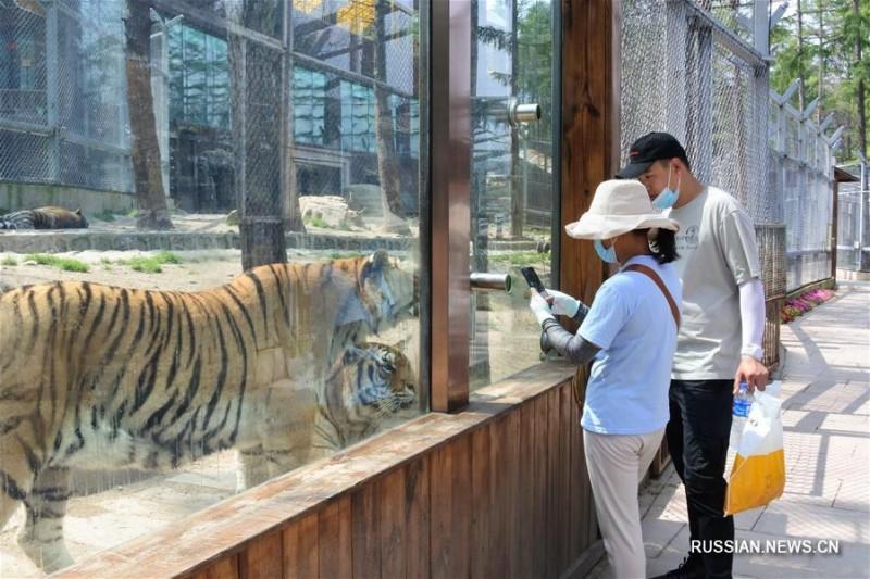 Амурские тигры в Китае 4