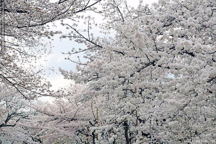 А а юге Японии уже начинает цвести сакура... 1
