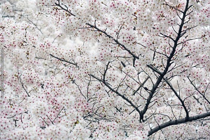 А а юге Японии уже начинает цвести сакура... 2