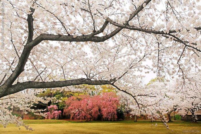 А а юге Японии уже начинает цвести сакура... 3