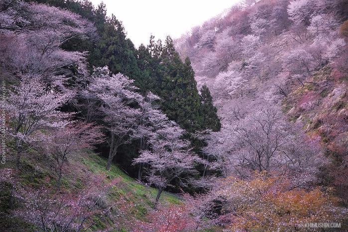 А а юге Японии уже начинает цвести сакура... 4