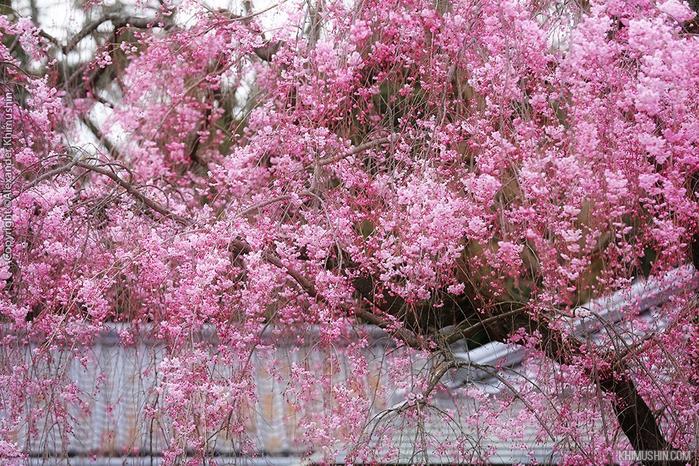 А а юге Японии уже начинает цвести сакура... 5