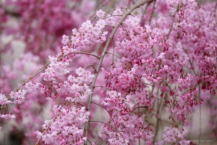 А а юге Японии уже начинает цвести сакура... 6