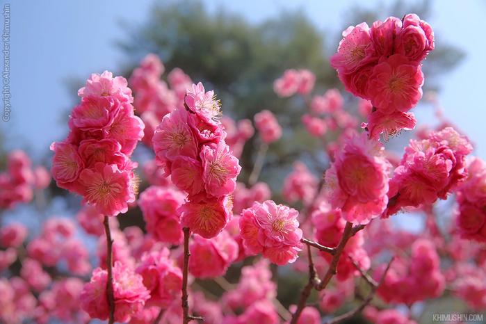 А а юге Японии уже начинает цвести сакура... 7