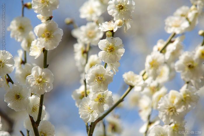 А а юге Японии уже начинает цвести сакура... 8