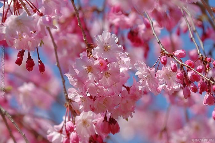 А а юге Японии уже начинает цвести сакура... 9